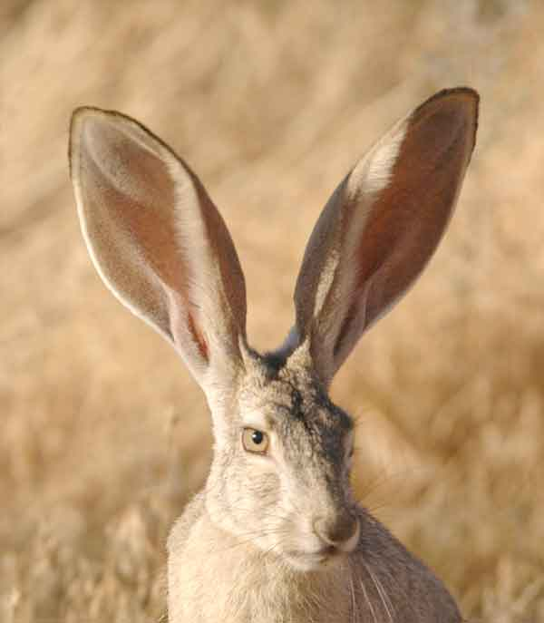 Jack Rabbits hiding in the desert with big ears