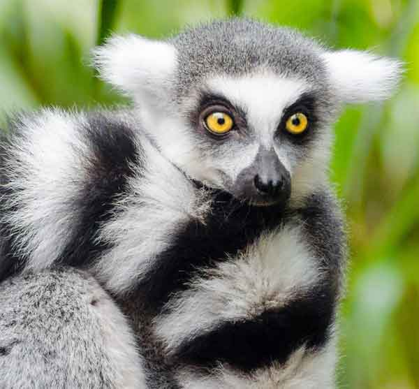 Cute lemur with yellow eyes