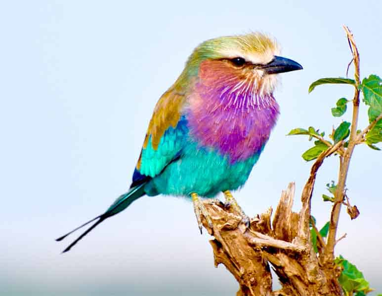 Lilac breasted roller with split tail