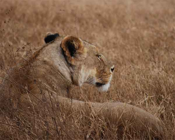 A Lion hiding in tall grass with matching colors