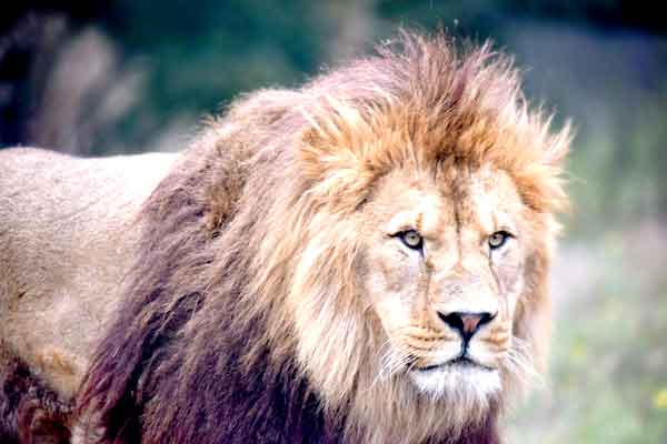 The Lion has no natural enemies anywhere