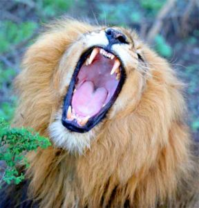 Lion teeth with mouth wide open. Clean and fresh