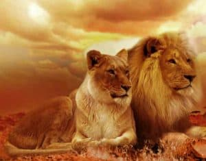 Lions - terrestrial animal example