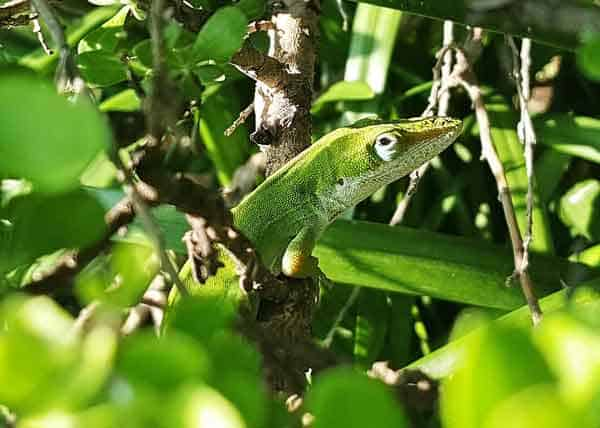 Lizard being almost invisible on a tree