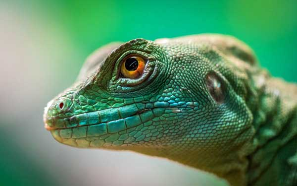 Lizard with green eyes