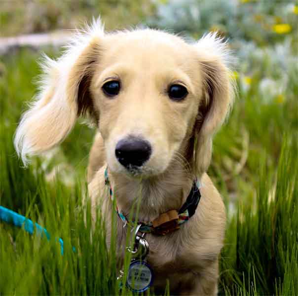 Miniature dachshund puppy eyes long-haired