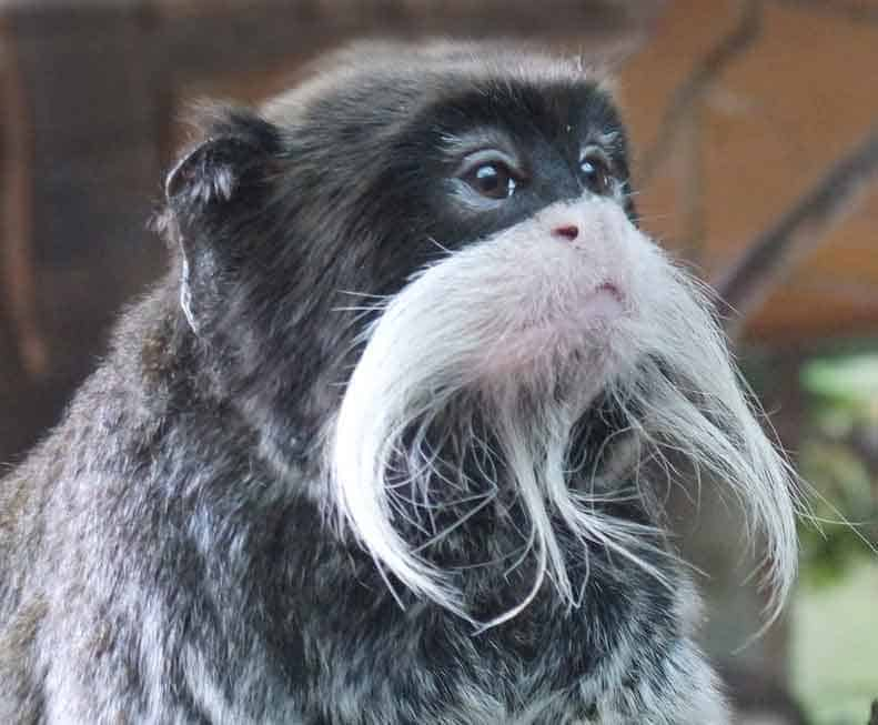 monkey with a big beard
