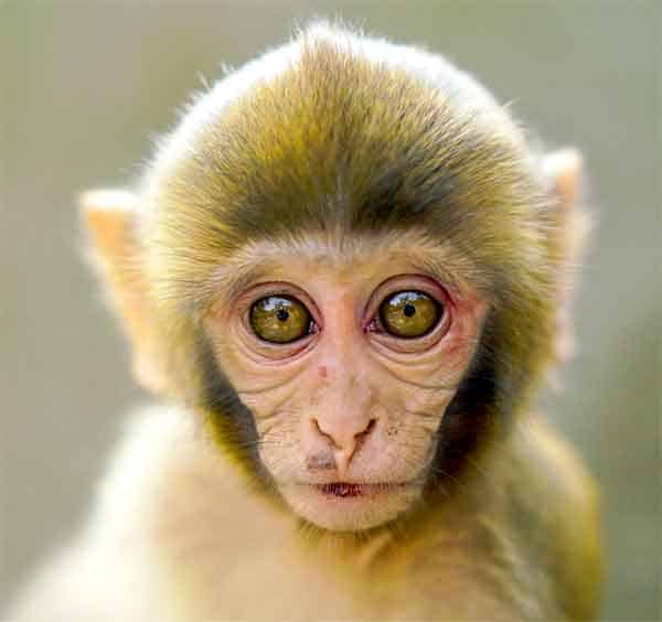 Baby monkey with big eyes
