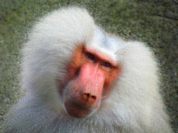 Monkey with a lot of facial hair