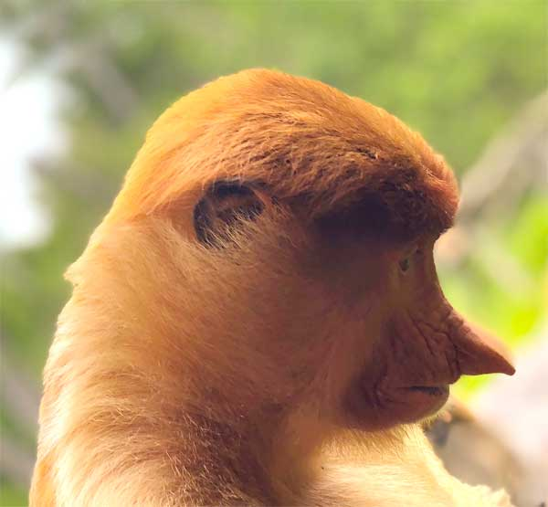 Red monkey with weird hairdo