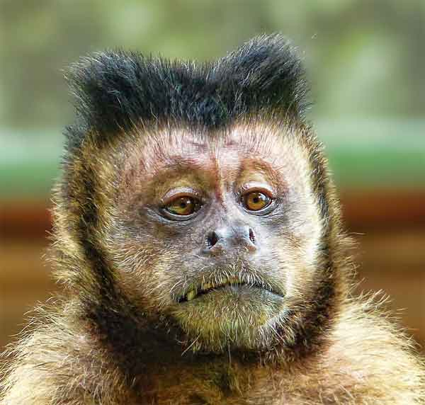 Monkey with funny straight hair