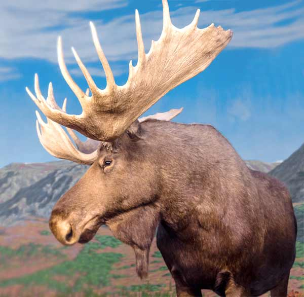 Moose head with huge antlers living in Arctic region (Canada and Norway)