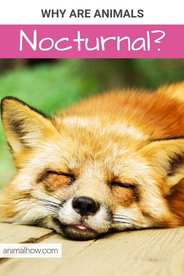 Fox sleeping at day (nocturnal)
