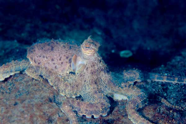 Octopus hiding with matching colors