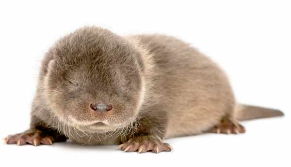 Otter pup baby looking furry and cute with dark fur