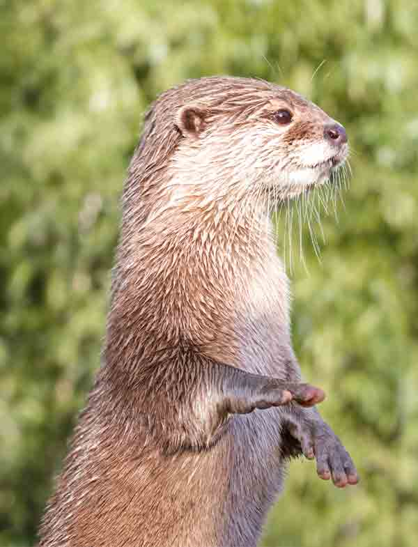 Otter standing up and looking super cute with dark eyes