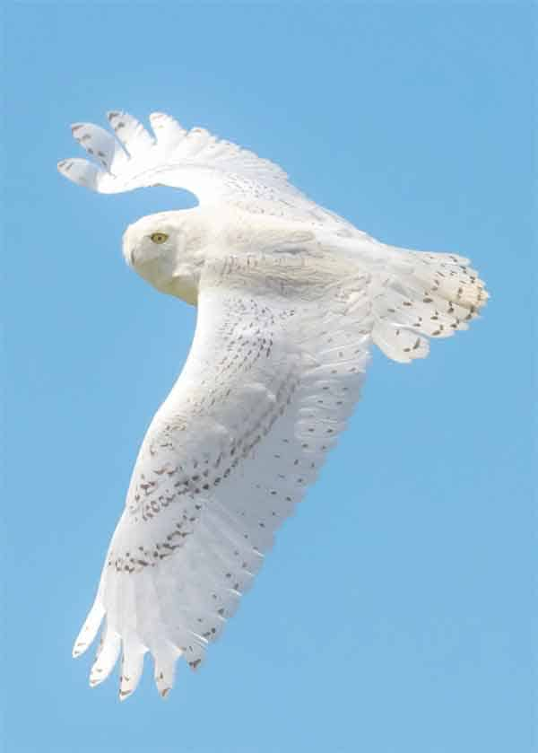 Snowy owl flying with white fur and wide open wings.