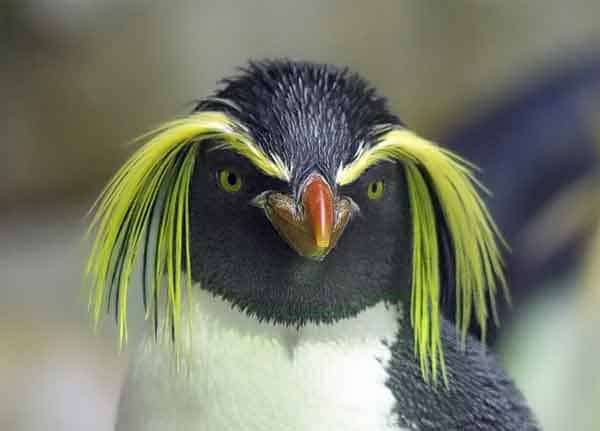Pinguin with crazy hair