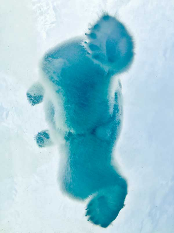 Polar Bear photographed from below the ice