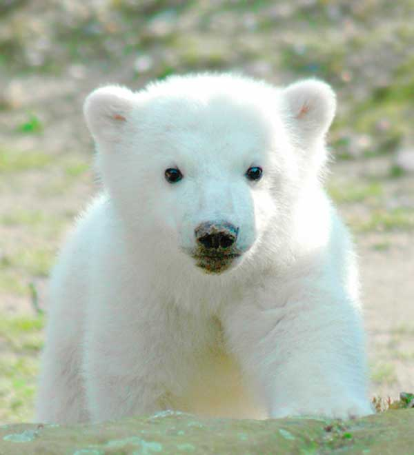 Polar Bear cub discovering on it's own in the arctic