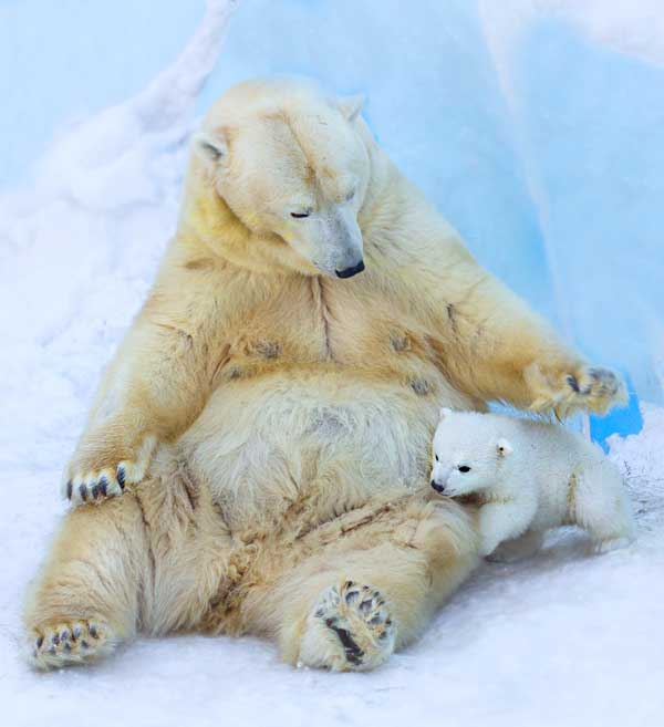 Polar Bear cub with mom. Super cute and tiny newborn baby