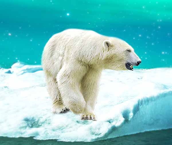 Polar bear on melting icecap