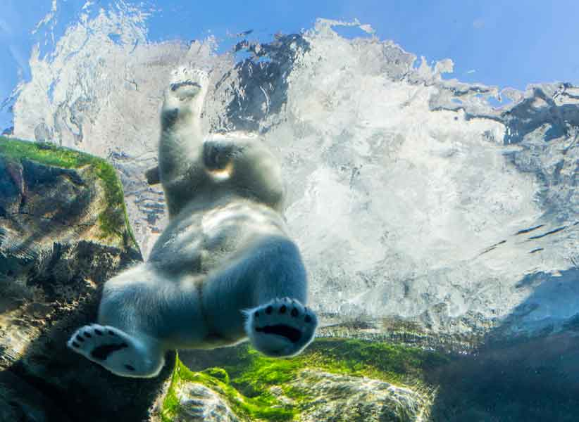 Polar Bear Playing In Water
