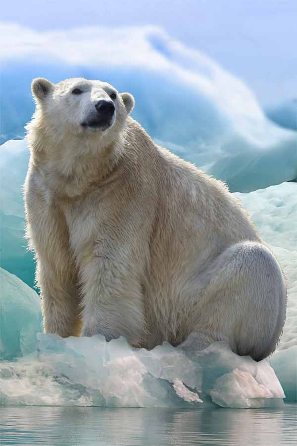 Polar bear sitting on icecap on greenland
