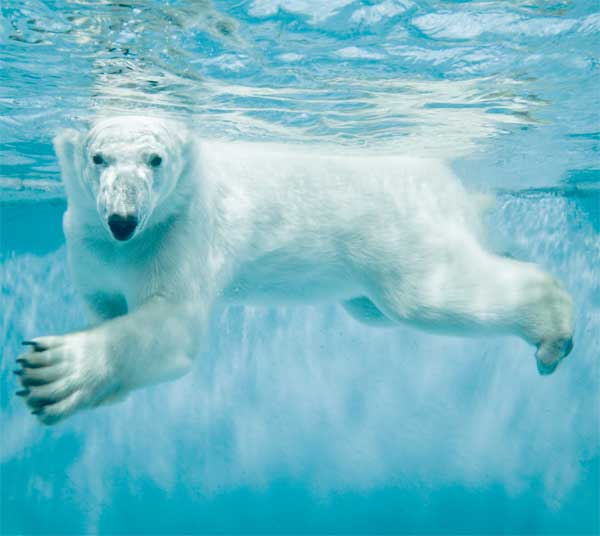 Polar bear swimming under the water in arctic water