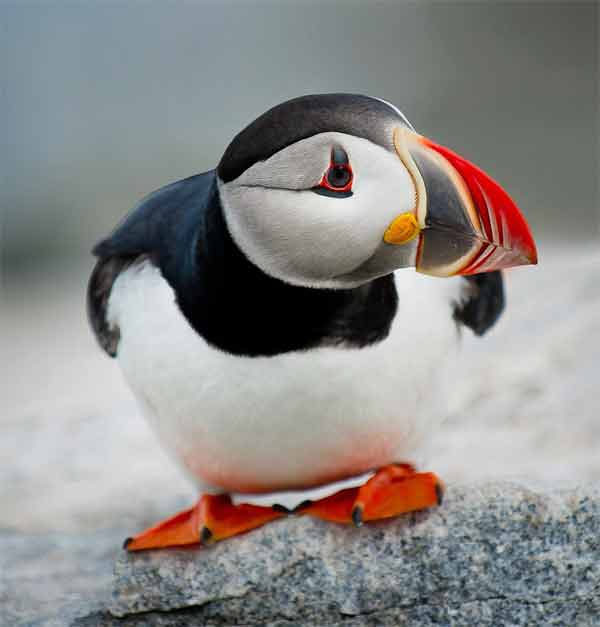 Puffin bird thinking with strong colors and black head