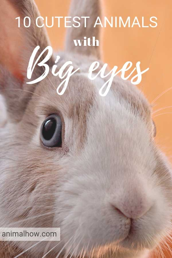 Rabbit with huge eyes