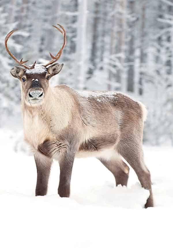Reindeer with huge antlers in the Arctic landscape of Northern Sweden