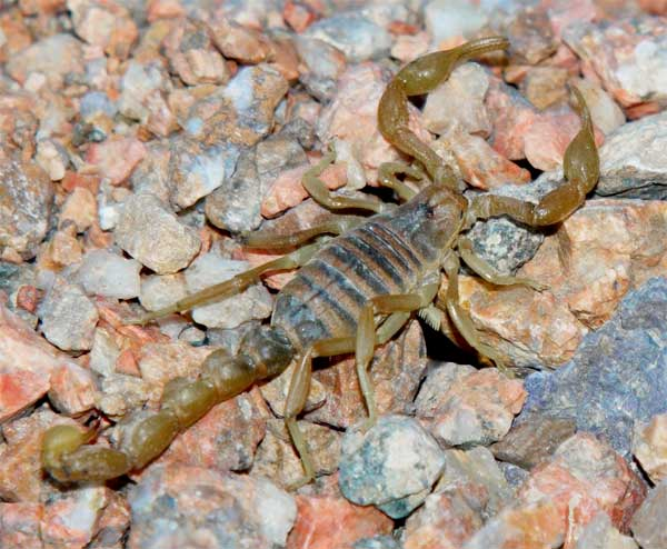 Camouflaged Scorpion hiding in the desert between pebbles