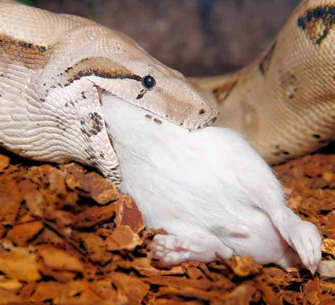 Snake swallowing a mouse raw