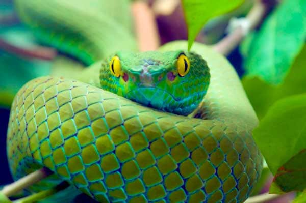 Green snake with yellow eyes hiding between leaves and branches being hard to find