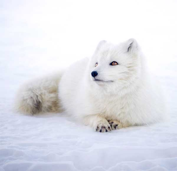 Arctic Snow Fox with white fur (winter coat) to keep it warm in the cold snowy weather
