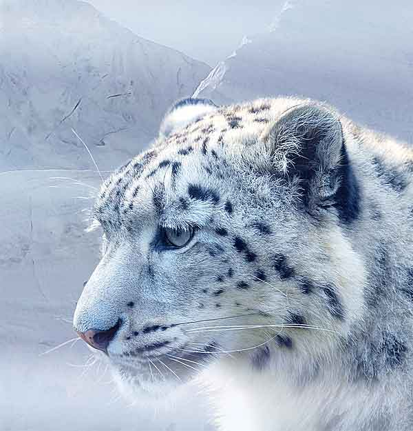 Healthy Snow Leopard looking at the snow in nature