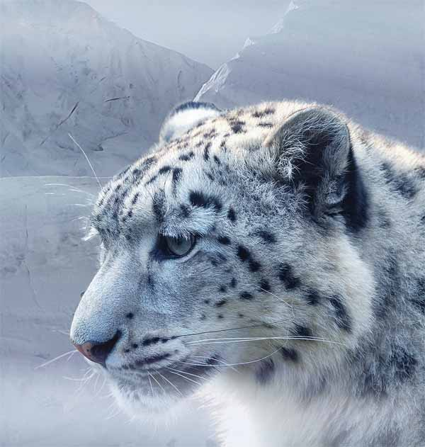 Snow Leopard with whiskers and cold stare at prey