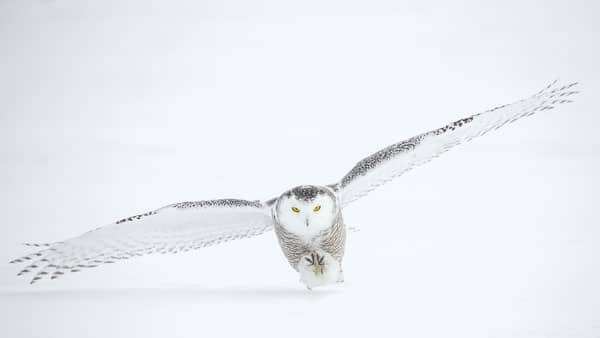 Snow Owl taking off and being hard to see on white snowy background