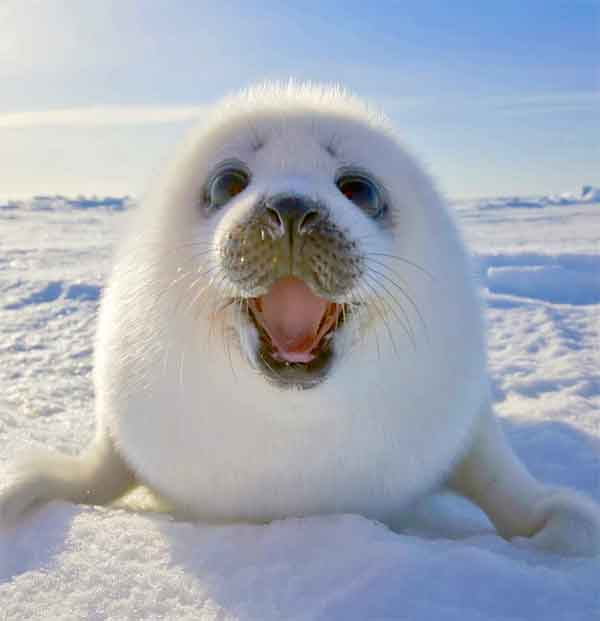 Baby Seal being cute on the ice (hard to find)