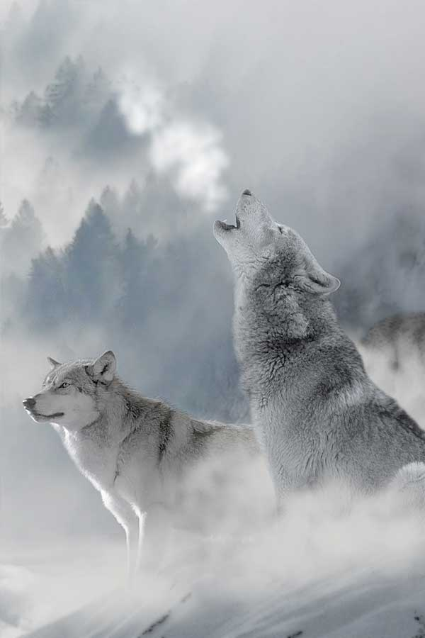 Wolves hauling at the sky