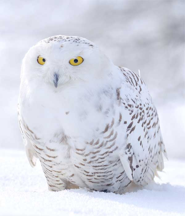 Snowy owl with amazing yellow eyes sitting on the snow in the Arctic area
