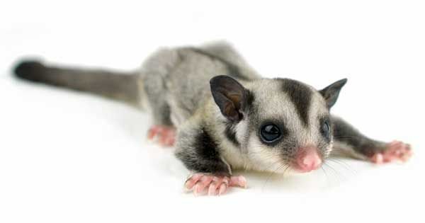Sugar Glider pet sitting looking cute and ready to fly