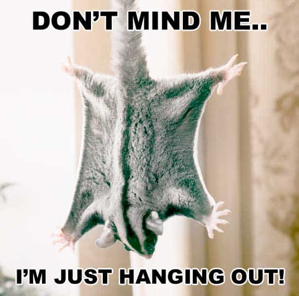 Sugar Glider hanging and spreading it's wings