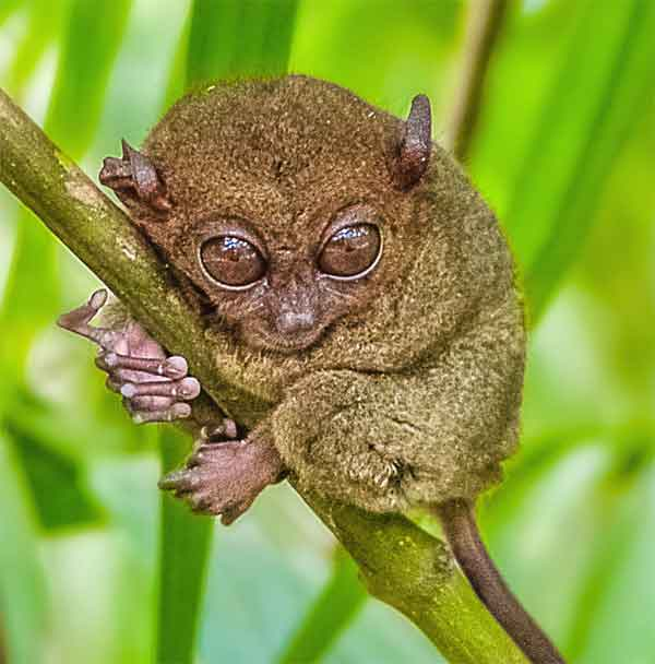 tarsier with enormous eyes