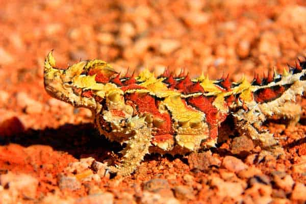 Thorny Devil camouflaging itself by hiding between red rocks in the desert