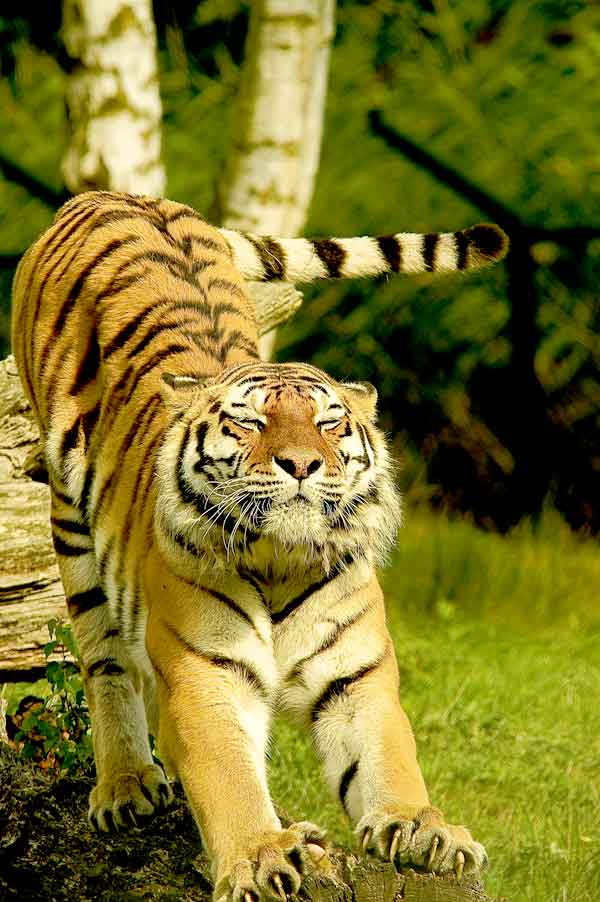Tiger with beautiful tail
