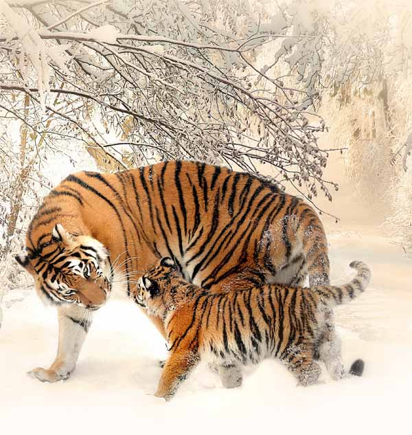 Tiger with little cub