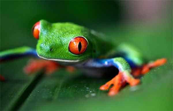 tree frog with red eyes