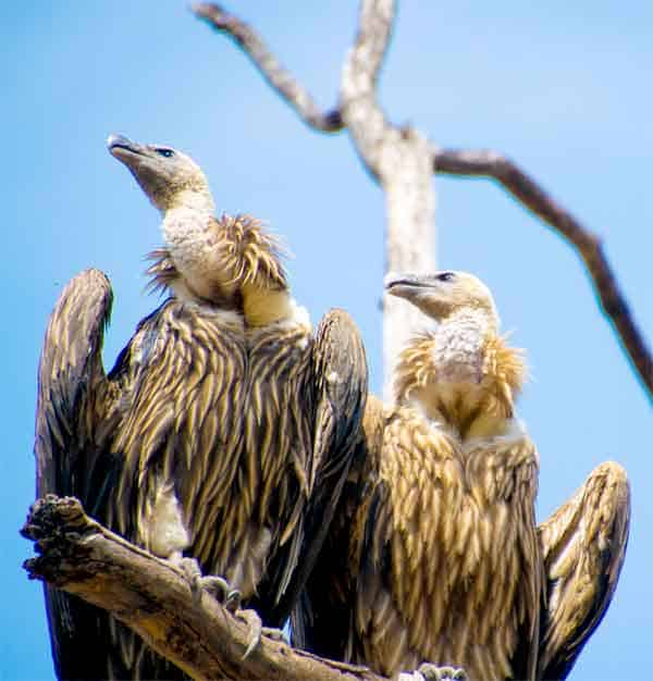 Vultures ready to eat raw meat